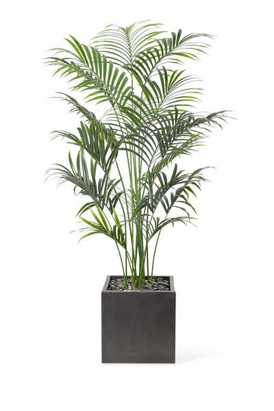 Kentia Palm WIth Cube